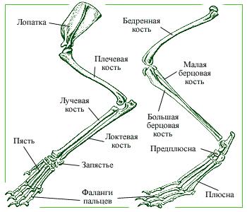 Скелеты передней и задней конечностей млекопитающих