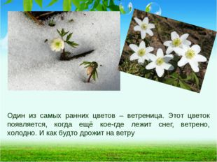 Один из самых ранних цветов – ветреница. Этот цветок появляется, когда ещё ко