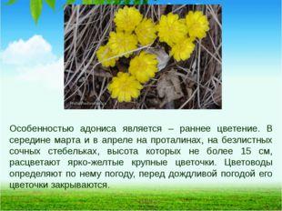 Особенностью адониса является – раннее цветение. В середине марта и в апреле