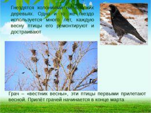 Грач – «вестник весны», эти птицы первыми прилетают весной. Прилёт грачей нач