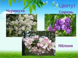 Цветут Черемуха Сирень Яблоня