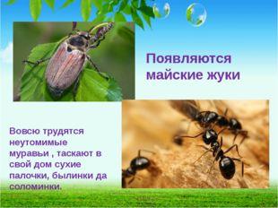 Появляются майские жуки Вовсю трудятся неутомимые муравьи , таскают в свой до