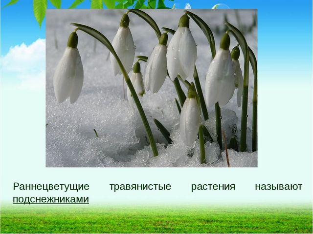 Раннецветущие травянистые растения называют подснежниками