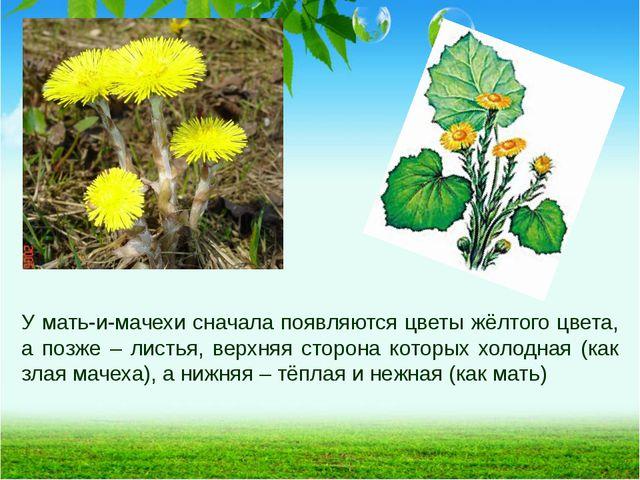 У мать-и-мачехи сначала появляются цветы жёлтого цвета, а позже – листья, вер...
