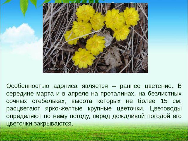 Особенностью адониса является – раннее цветение. В середине марта и в апреле...