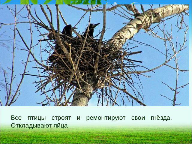 Все птицы строят и ремонтируют свои гнёзда. Откладывают яйца