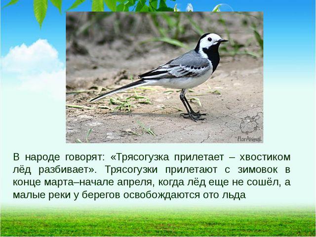 В народе говорят: «Трясогузка прилетает – хвостиком лёд разбивает». Трясогузк...