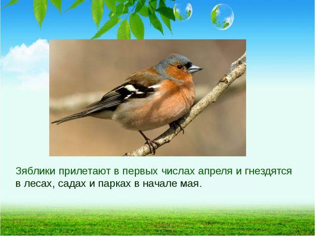 Зяблики прилетают в первых числах апреля и гнездятся в лесах, садах и парках...
