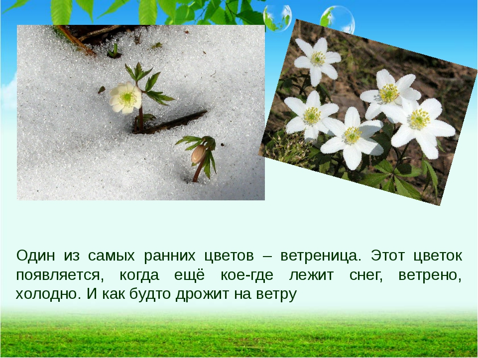 Один из самых ранних цветов – ветреница. Этот цветок появляется, когда ещё ко...
