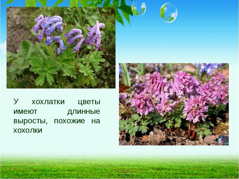 У хохлатки цветы имеют длинные выросты, похожие на хохолки
