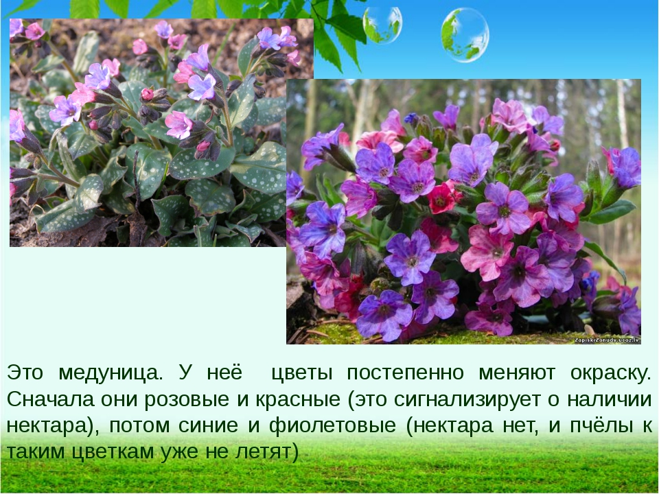 Это медуница. У неё цветы постепенно меняют окраску. Сначала они розовые и кр...