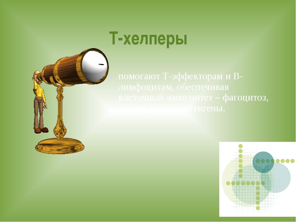 Т-хелперы помогают Т-эффекторам и В-лимфоцитам, обеспечивая клеточный иммунит...