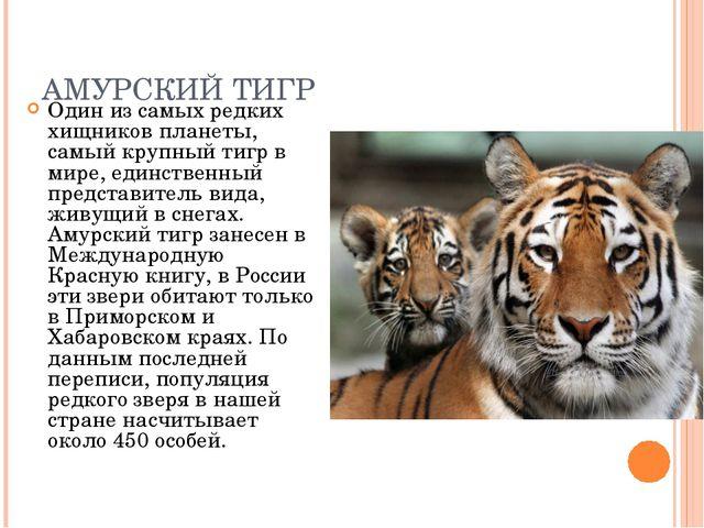 АМУРСКИЙ ТИГР Один из самых редких хищников планеты, самый крупный тигр в мир...