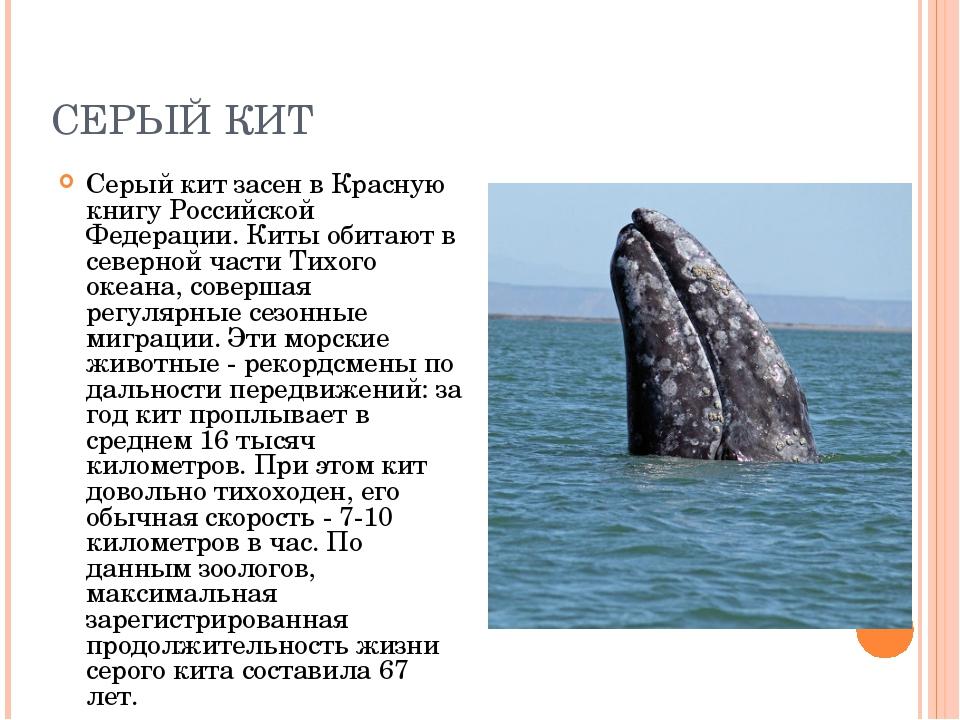 СЕРЫЙ КИТ Серый кит засен в Красную книгу Российской Федерации. Киты обитают...