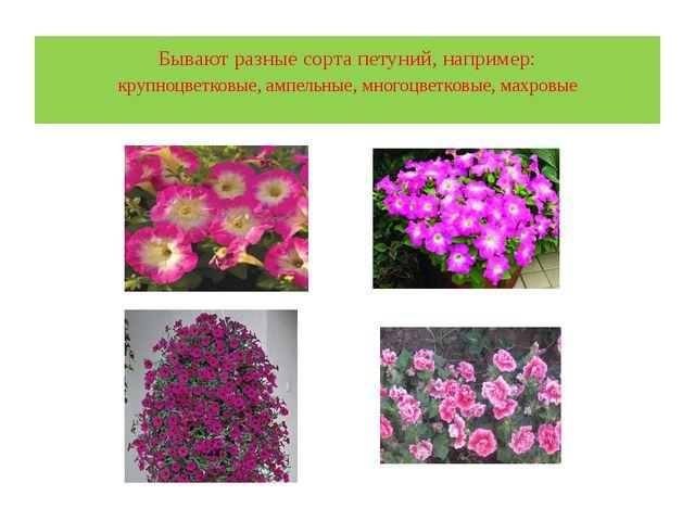 Бывают разные сорта петуний, например: крупноцветковые, ампельные, многоцветк...