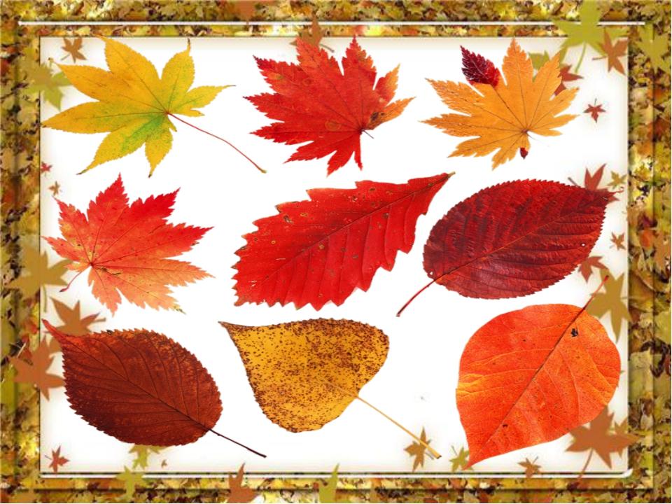 как окрашиваются листья деревьев осенью Муфты медные, Медная