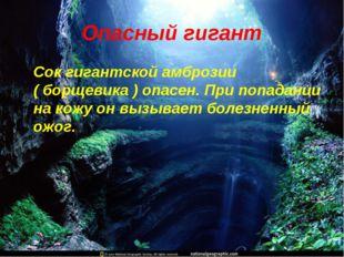 Опасный гигант Сок гигантской амброзии ( борщевика ) опасен. При попадании на