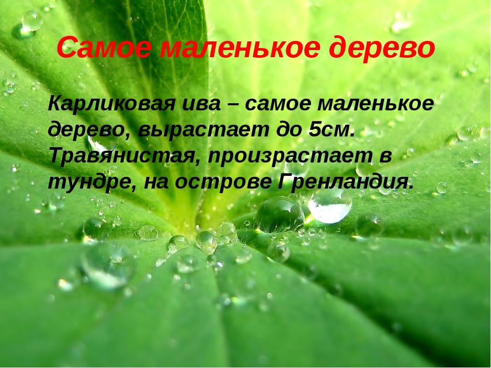 Самое маленькое дерево Карликовая ива – самое маленькое дерево, вырастает до...