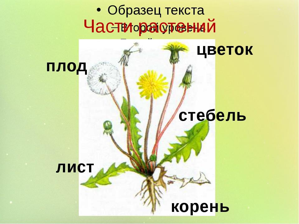 Части растений корень стебель лист цветок плод