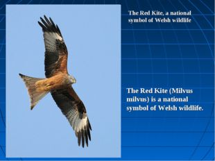 The Red Kite, a national symbol of Welsh wildlife The Red Kite (Milvus milvus
