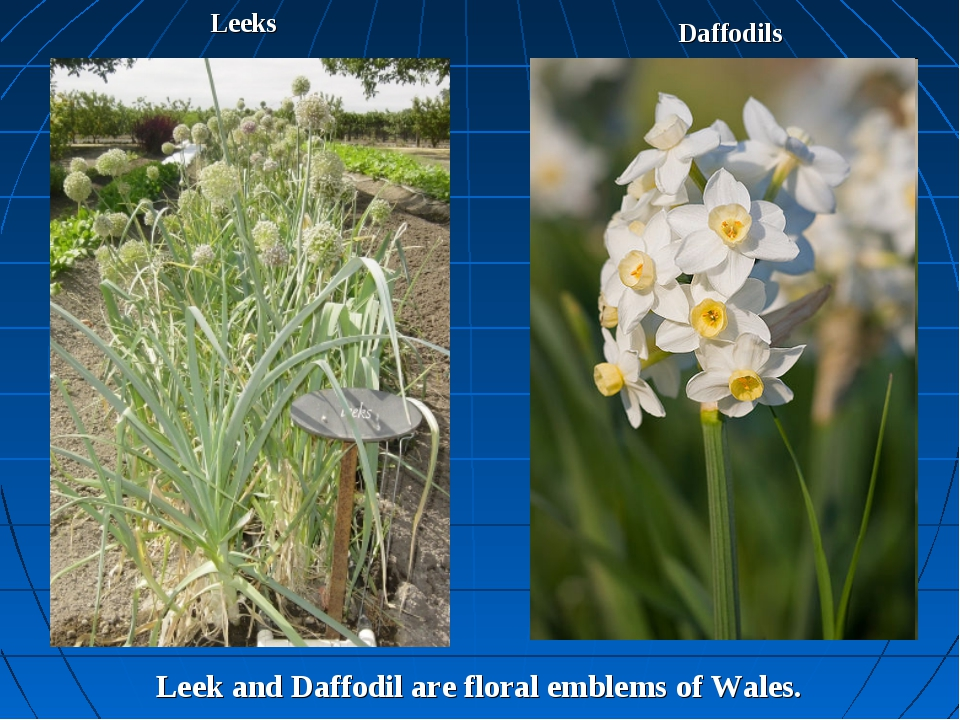 Leeks Daffodils Leek and Daffodil are floral emblems of Wales.