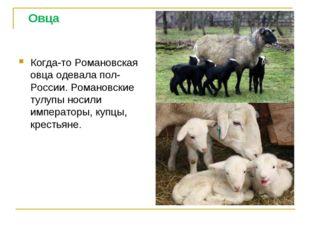 Овца Когда-то Романовская овца одевала пол- России. Романовские тулупы носил