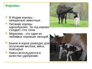 Коровы В Индии коровы - священные животные. Питание коровы однообразно. За го