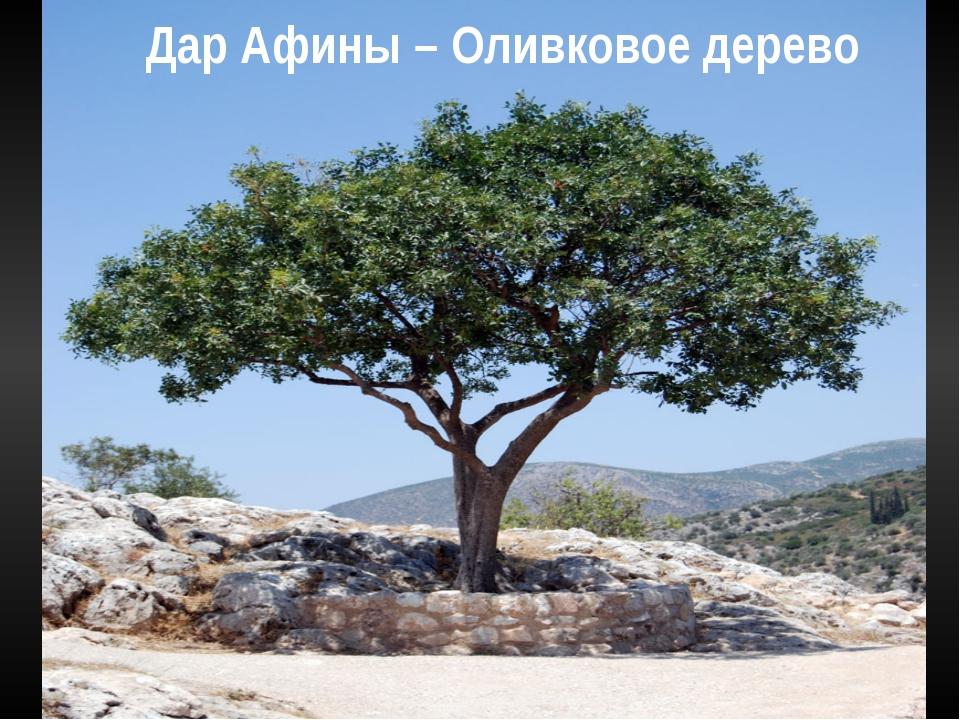 Дар Афины – Оливковое дерево