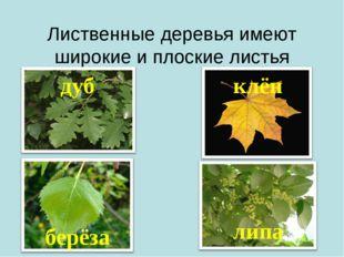 Лиственные деревья имеют широкие и плоскиелистья дуб берёза клён липа