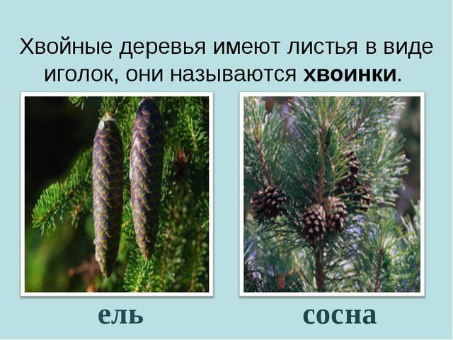 Хвойные деревья имеют листья в виде иголок, они называются хвоинки. сосна ель