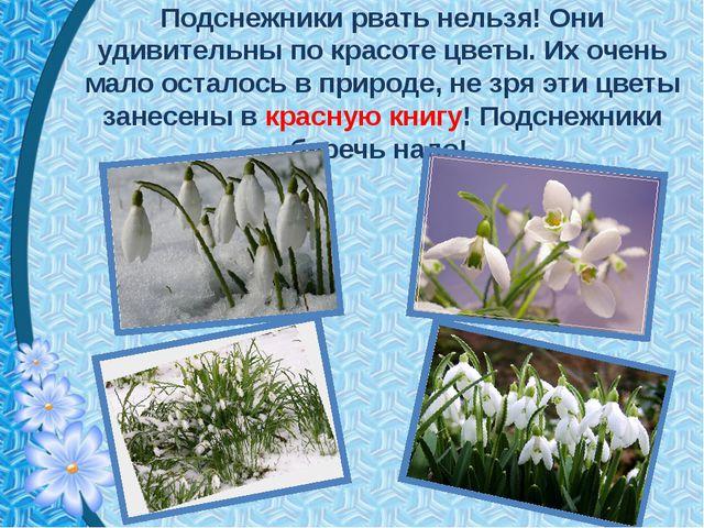 Подснежники рвать нельзя! Они удивительны по красоте цветы. Их очень мало ост...