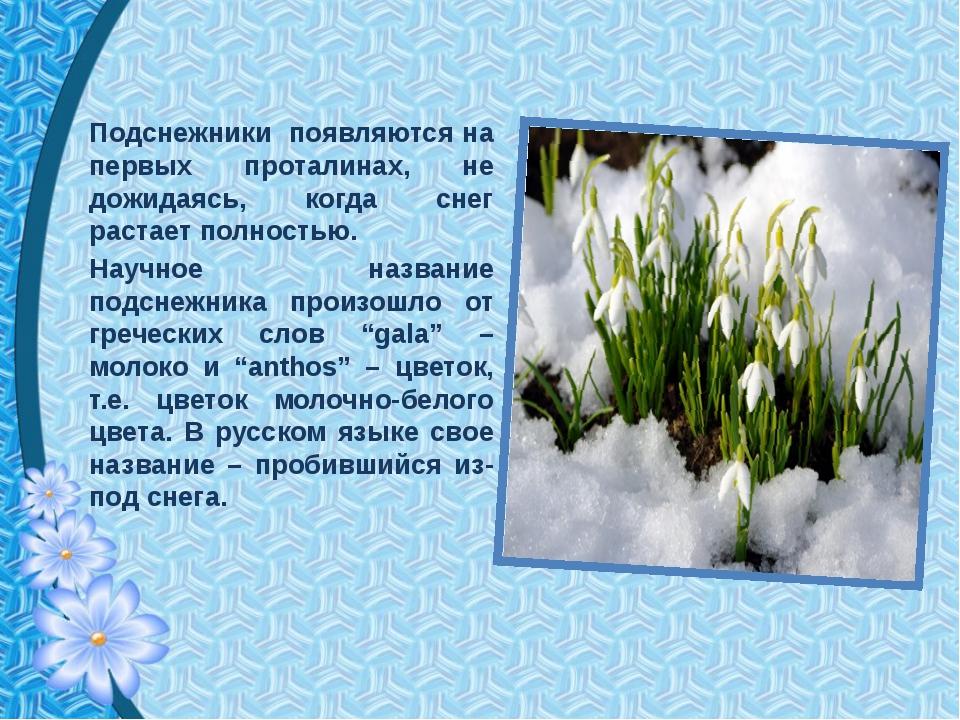Подснежники появляются на первых проталинах, не дожидаясь, когда снег растает...