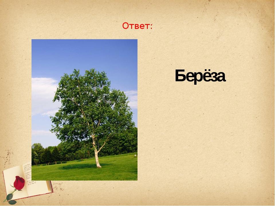 Ответ: Берёза