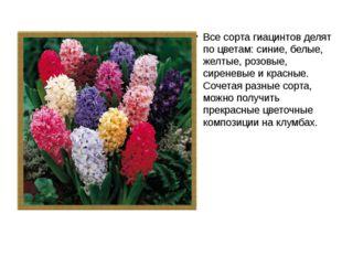 Все сорта гиацинтов делят по цветам: синие, белые, желтые, розовые, сиреневые