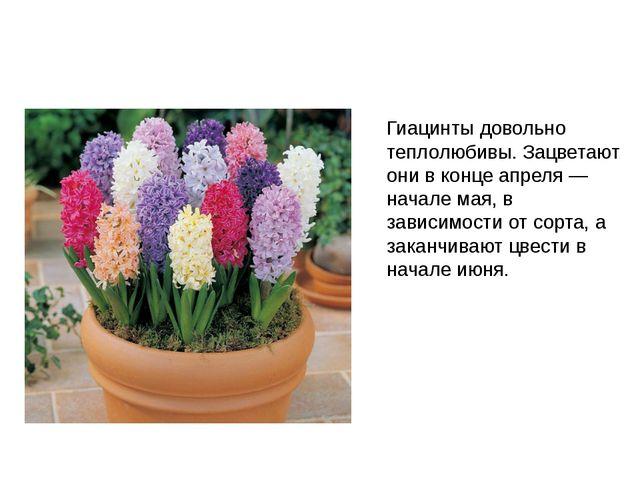 Гиацинты довольно теплолюбивы. Зацветают они в конце апреля — начале мая, в з...