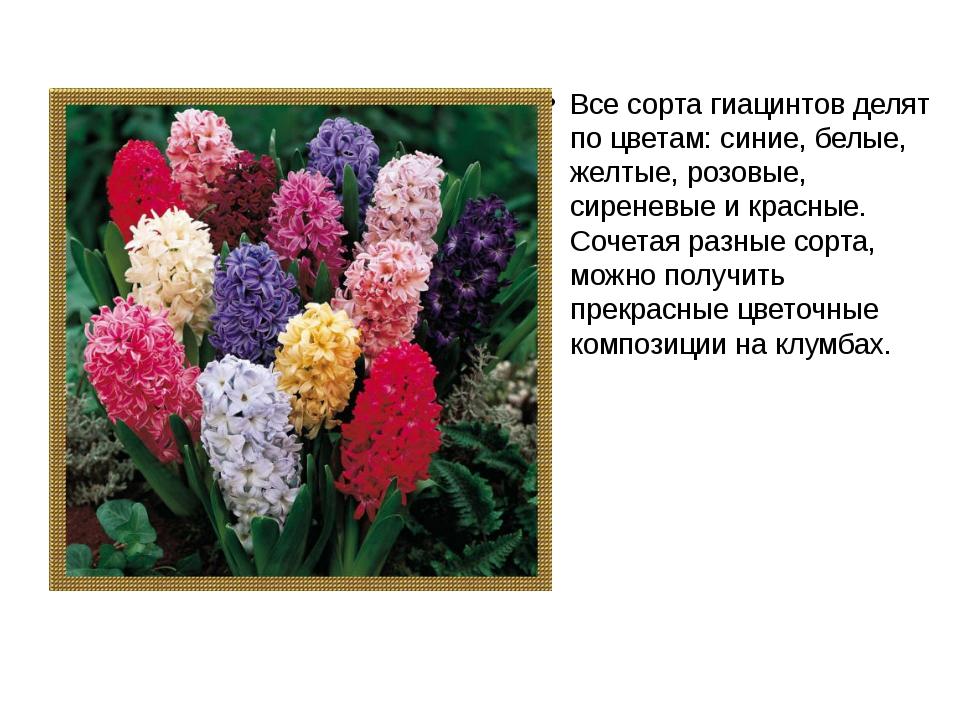 Все сорта гиацинтов делят по цветам: синие, белые, желтые, розовые, сиреневые...