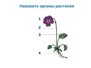 Назовите органы растения 1 2 3 4
