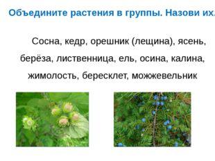 Объедините растения в группы. Назови их. Сосна, кедр, орешник (лещина), ясень