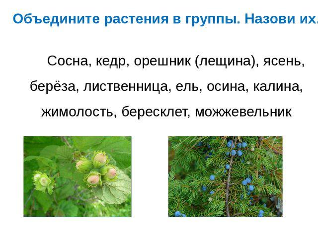 Объедините растения в группы. Назови их. Сосна, кедр, орешник (лещина), ясень...