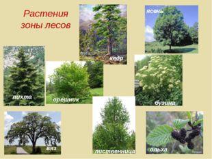Растения зоны лесов пихта кедр ясень вяз орешник бузина ольха лиственница