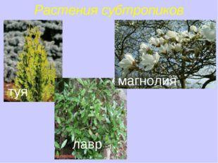 Растения субтропиков туя лавр магнолия