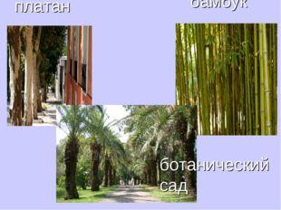 платан бамбук ботанический сад