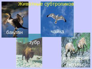 зубр кавказские козлы баклан чайка Животные субтропиков