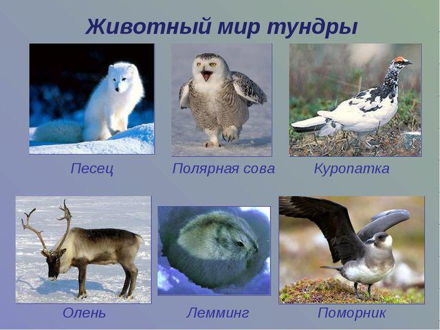 Животный мир тундры Песец Полярная сова Куропатка Олень Лемминг Поморник