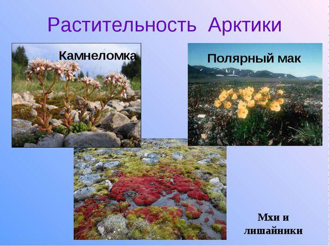 Растительность Арктики Камнеломка Полярный мак Мхи и лишайники