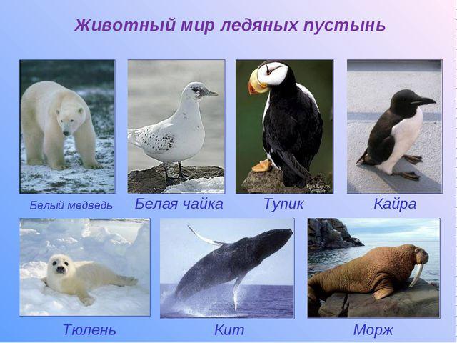 Белый медведь Животный мир ледяных пустынь Тупик Тюлень Морж Кит Белая чайка...