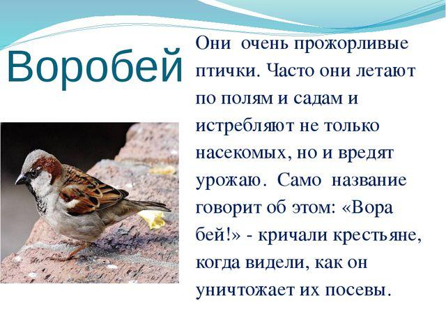 Воробей Они очень прожорливые птички. Часто они летают по полям и садам и ист...