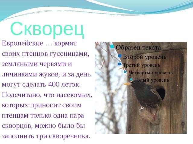 Скворец Европейские … кормят своих птенцов гусеницами, земляными червями и ли...