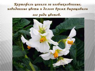Картофель ценили за необыкновенные, невиданные цветы и долгое время выращивал