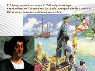 В Европу картофель попал в 1565 году благодаря мореплавателю Христофору Колум